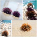 Free Sea Urchin Collage Stock Image - 16247631