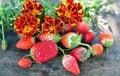 Free Strawberry Stock Photography - 16248812