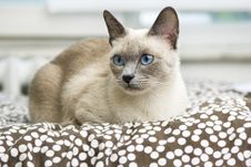 Free Siamese Cat Laying On A Comfy Bed Stock Images - 16241484