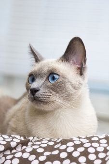 Portrait Of A Siamese Cat S Face Stock Photo