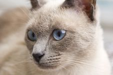 Free Portrait Of A Siamese Cat Royalty Free Stock Photography - 16241517