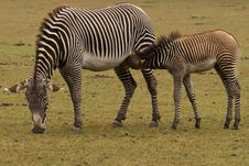 Free Zebra And Young Royalty Free Stock Photography - 16241857