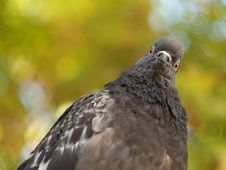 Free Pigeon Stock Photography - 16242482