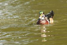 Free Wood Duck Royalty Free Stock Photography - 16243427
