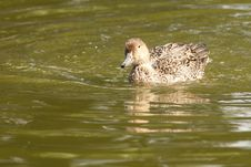 Free Mallard Duck Royalty Free Stock Photos - 16243428