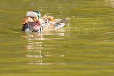 Mandarin Duck Drake Stock Photography