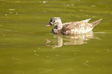 Free Wood Duck Female Royalty Free Stock Photo - 16243435