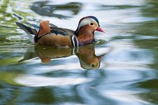Free Mandarin Duck Drake Royalty Free Stock Photography - 16243437