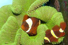 Free Maroon Yellow Stripe Clownfish Pair Royalty Free Stock Photo - 16243475
