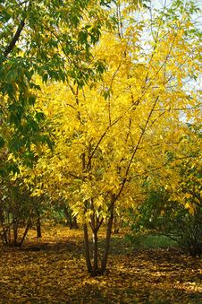 Free Tree With Bright Yellow Foliage In Park Stock Photography - 16243682