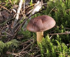 Bay Bolete Royalty Free Stock Photo
