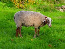 Free Sheep Stock Image - 16245451