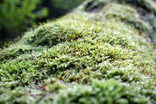 Free Wild Growing Moss Royalty Free Stock Photos - 16245558