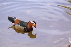 Mandarine Duck Royalty Free Stock Photo