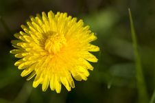 Free Yellow Dandelion Head Stock Photography - 16247462