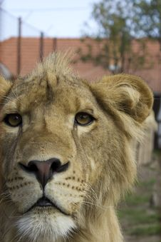 Free Lion Royalty Free Stock Images - 16247529
