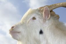 Free Goat Stock Images - 16247534