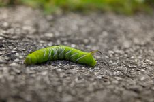 Free Horn Worm Stock Photos - 16248043
