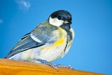 Free Tit While Resting Royalty Free Stock Photography - 16248147