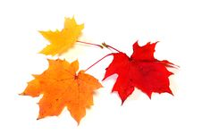 Free Autumn Color Maple Leaves Royalty Free Stock Photography - 16248797