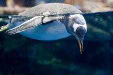 Free Swimming Penguin Stock Photo - 16249580