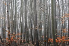 Free Beech Tree Forest Stock Images - 16249974
