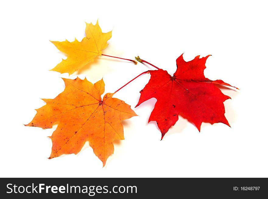 Autumn color maple leaves