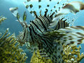 Free Lionfish Stock Photo - 16252430