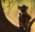 Free A Thoughtful Baby Baboon Stock Images - 16256094
