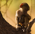 Free Young Baboon While Relaxing Royalty Free Stock Images - 16256289
