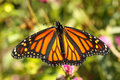 Free Monarch Butterfly  (Danaus Plexippus) Stock Images - 16256654