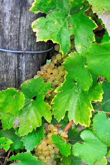 Free Bunch Of Grapes And Leaves Stock Photo - 16250370