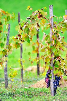 Free Grapevine On Wood Stakes Stock Images - 16250514