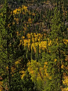 Free Colorado Aspens In The Fall Royalty Free Stock Images - 16251709