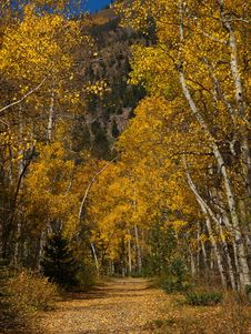 Free Aspen Trees In The Fall Colorado Stock Photography - 16251732