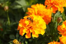 Free Orange Marigold Flowers Royalty Free Stock Photography - 16252037