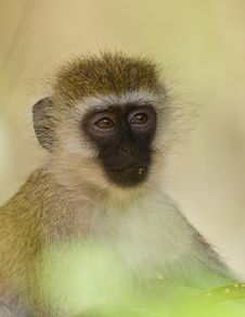 Free Close-up To The Eyes Of A Vervet Monkey Royalty Free Stock Photos - 16252258