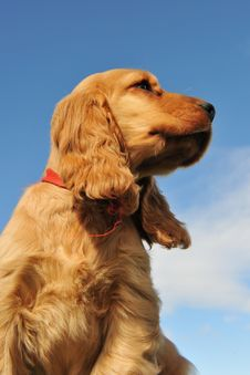 Free Puppy English Cocker Stock Photography - 16252732