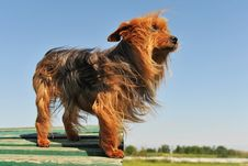 Free Yorkshire Terrier Stock Photo - 16253260
