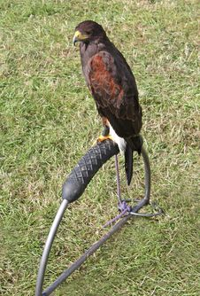 Free Harris Hawk Royalty Free Stock Photography - 16253737