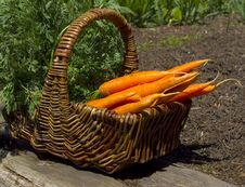 Free Basket Full Of Carrots Stock Photos - 16254393