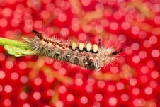 Free Shaggy Caterpillar Stock Photos - 16254733