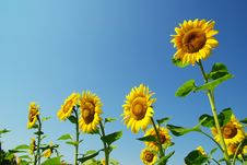 Free Sunflowers Stock Images - 16255434