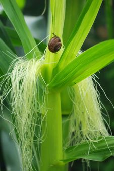 Free Snail On The Corn Stalk Royalty Free Stock Photo - 16256175