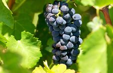 Free Mature Grapes. Royalty Free Stock Images - 16256329