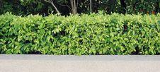 Free Wall Tree Royalty Free Stock Photos - 16257198