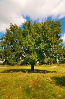 Free Wonderful Alone Large Oak Tree By Autumn. Stock Image - 16258821