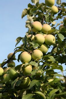 Free Apple-tree Branch Stock Photos - 16259263