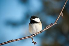 Free Black-Capped Chickadee Sitting On A Branch Stock Photos - 16259413
