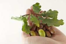 Acorns With An Oak Leaves On A Hand Royalty Free Stock Photo